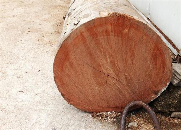 橡胶树断面图片