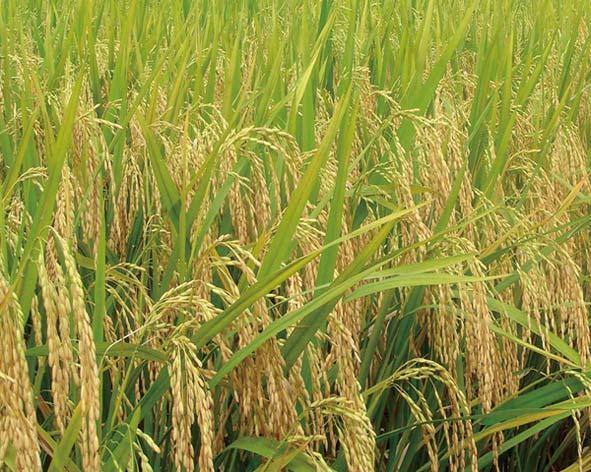 种水稻用什么肥?