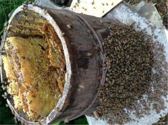 湖南蜜蜂出售大量出售纸箱群湖南中蜂v蜜蜂分如何拿仓鼠做蜜蜂笼子图片