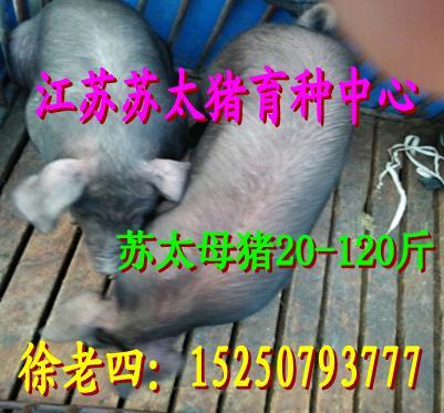 资阳母猪价格今日最新行情