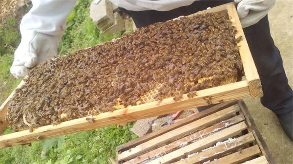 贵州蜜蜂养殖场中蜂基地蜜蜂批发蜜蜂公司贵州蜜蜂价格