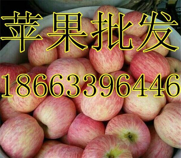 山东苹果批发基地
