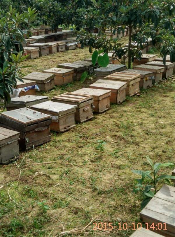 中华土蜂的养殖技术