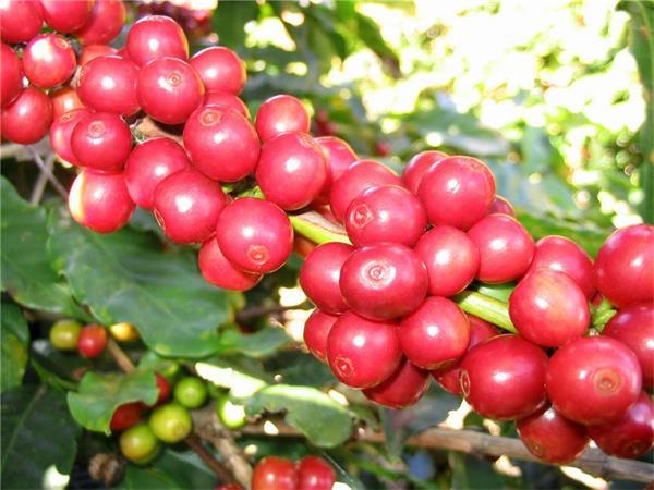 设法弄到了一些咖啡树,并决定把它们带回马提尼克岛,他一直精心护理着