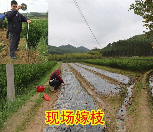 求购柑桔苗【哪里求购买柑桔苗好】供应柑桔苗