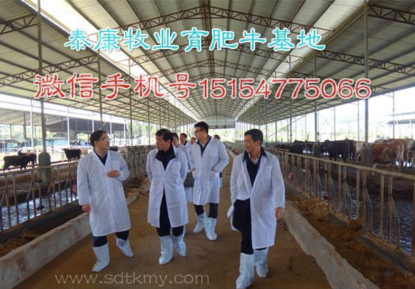 小牛犊饲养技术山区放养肉牛犊技术小牛犊饲养技术