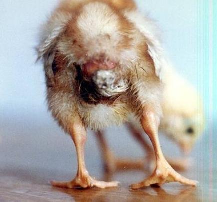 欧美雏鸡15p_雏鸡得了鸡白痢用什么药治疗