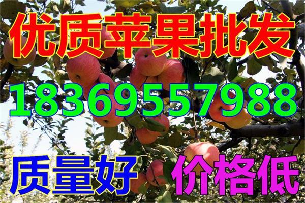 吉隆县金帅苹果批发价格