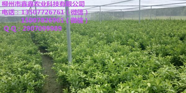 河池金葵沙糖桔营养杯苗出售 河池金葵沙糖桔营养杯苗价格多少钱一棵